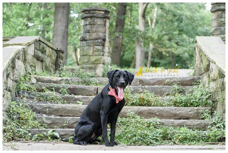 black Lab sitting by stone stairs in Schenley Park