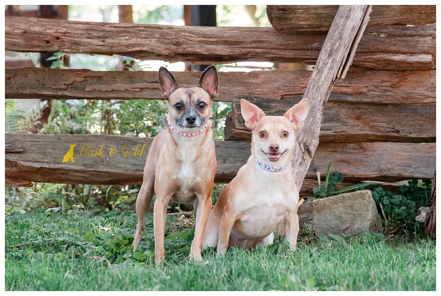 bonded Chihuahuas smiling by the Oliver Miller Homestead in South Park