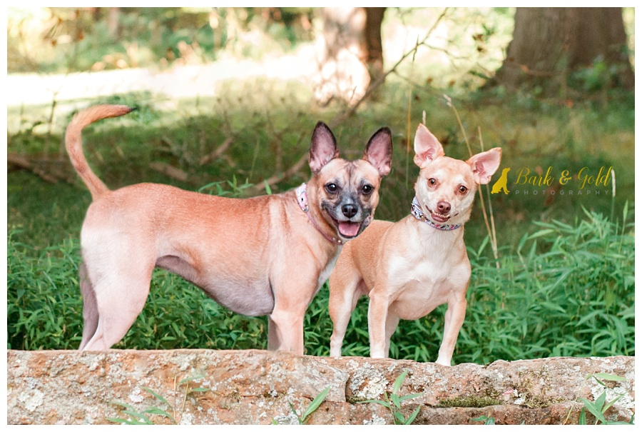 bonded Chihuahuas posing on rocks in South Park