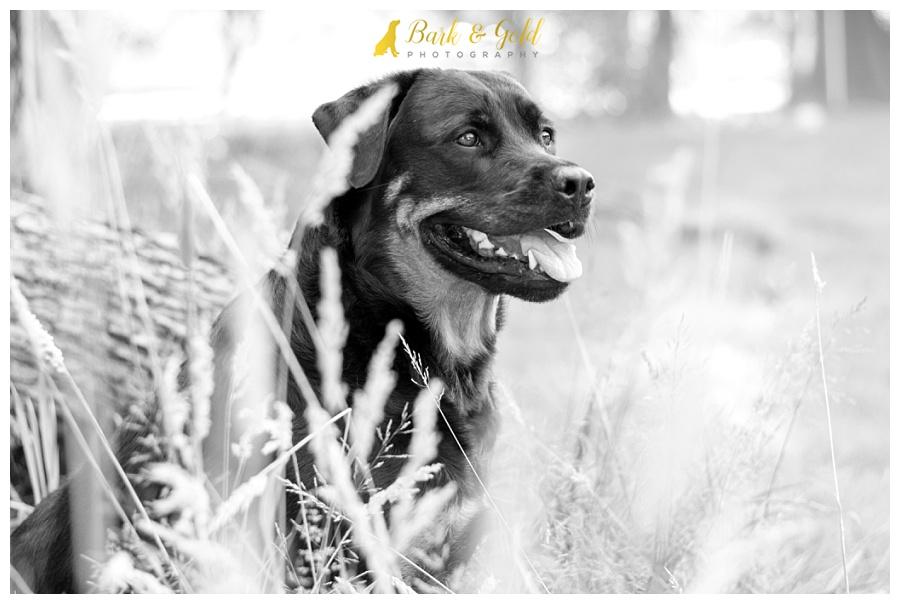 rottweiler gazing off among wheat grass