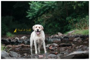 Huck the Labrador Retriever - Beaver County Pet Photography