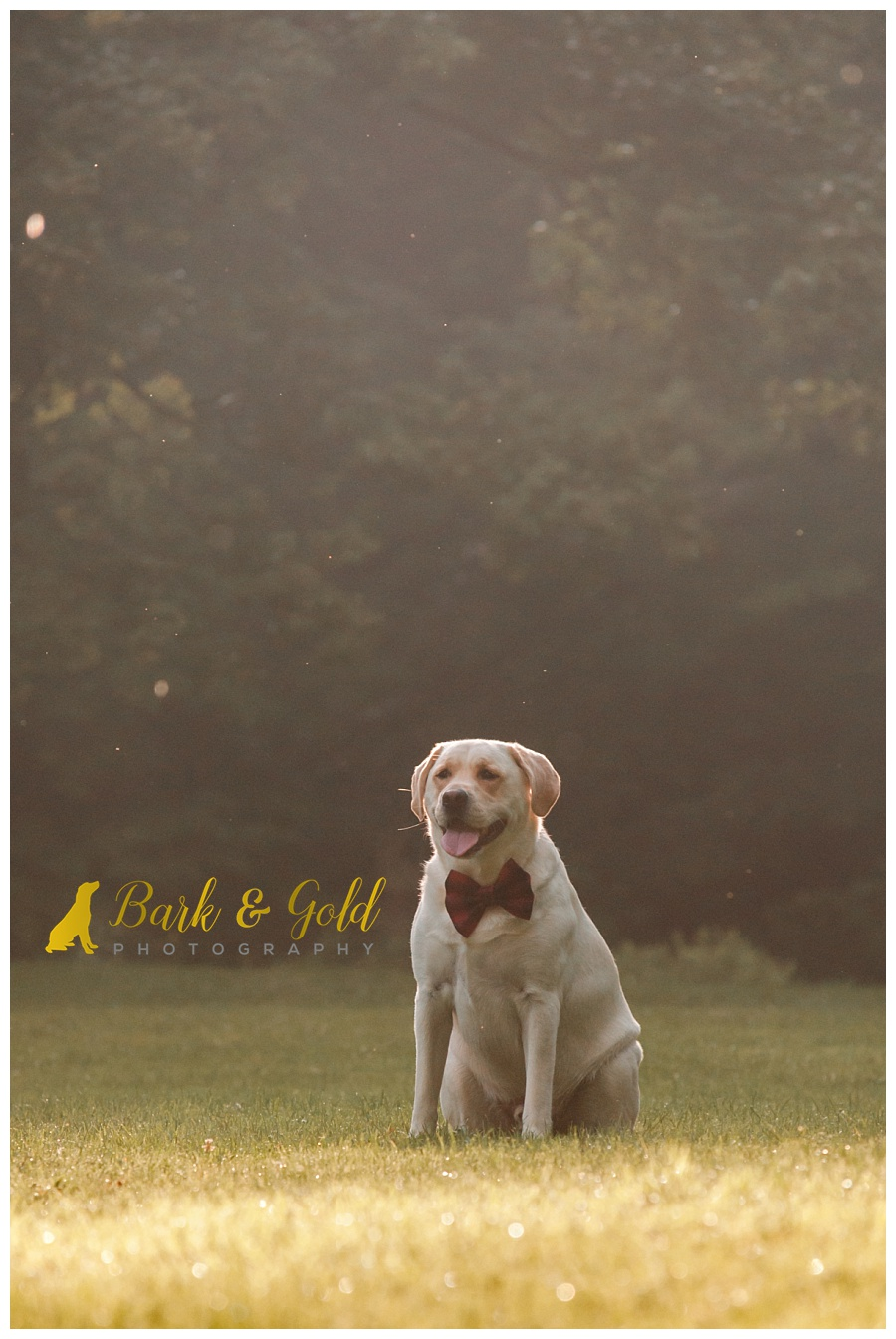 yellow Lab rests during golden hour at at Brady's Run Park