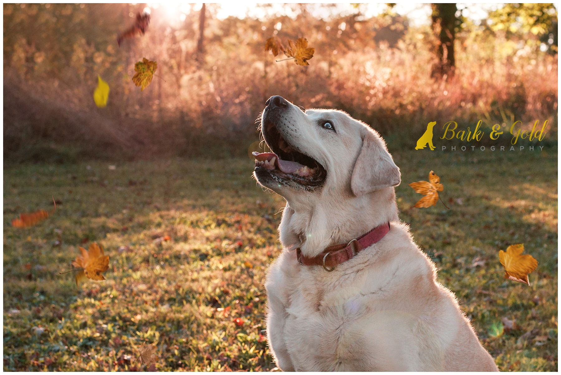 English Lab watches autumn leaves fall in a field at South Park