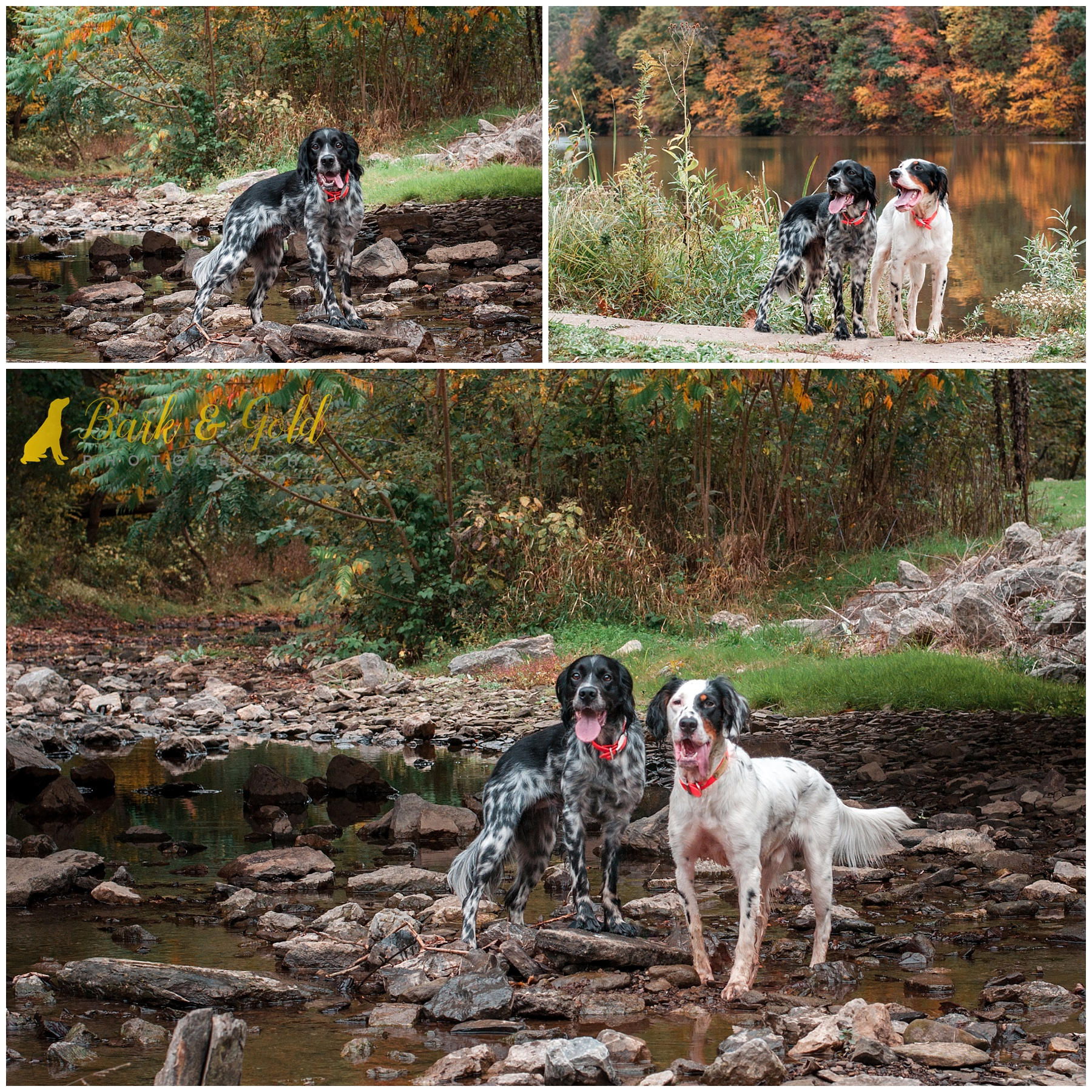 English Setters pose in a creek at Brady's Run Park in Beaver County