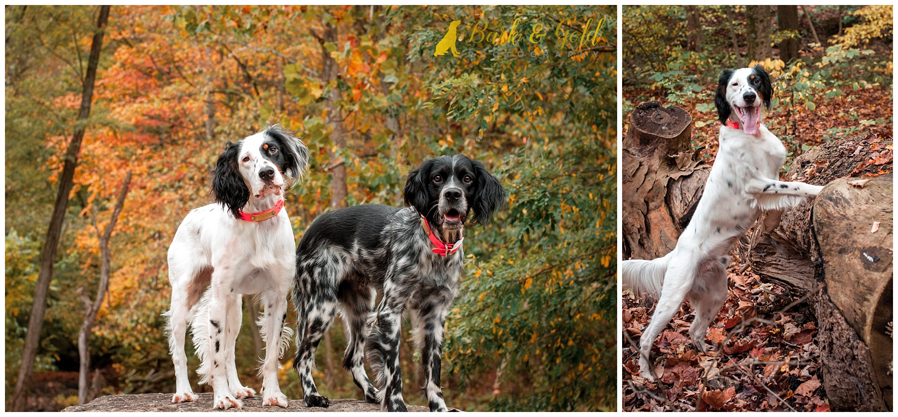 English Setters explore the autumn woods at Brady's Run Park in Beaver County