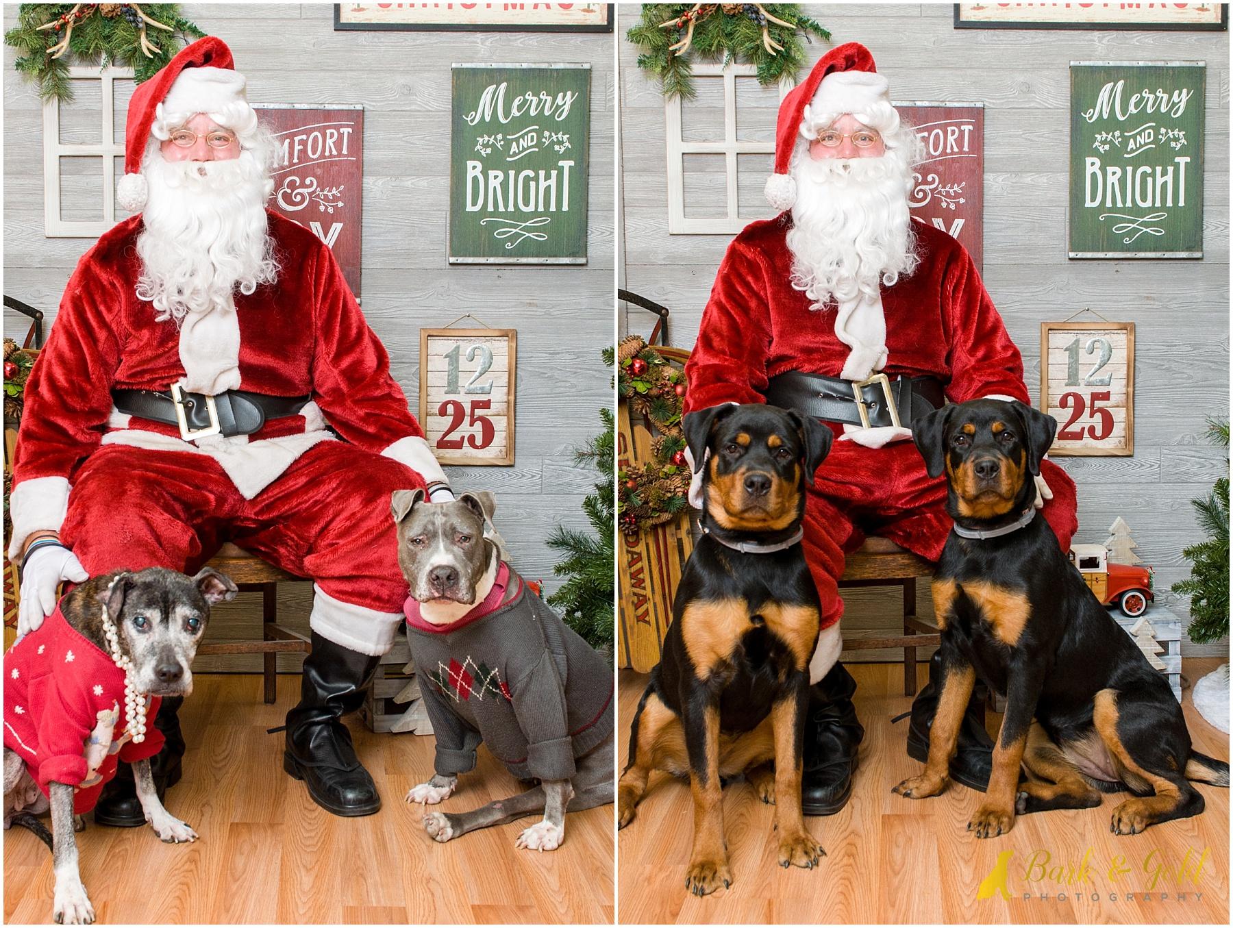 pit bulls and rottweilers meeting Santa during 2017 pet photos with Santa at Petagogy