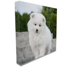 6x6 mini canvas with white American Eskimo puppy