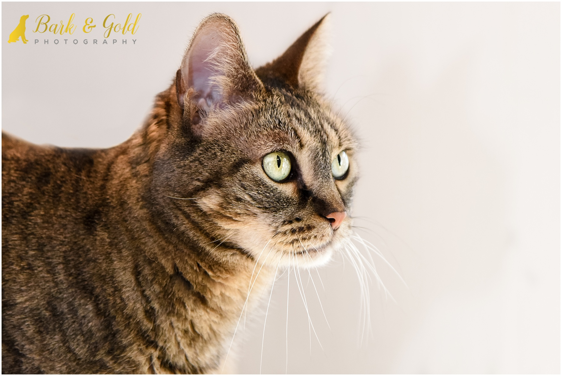 beautiful brown tabby cat gazing during in-home session in the North Hills of Pittsburgh