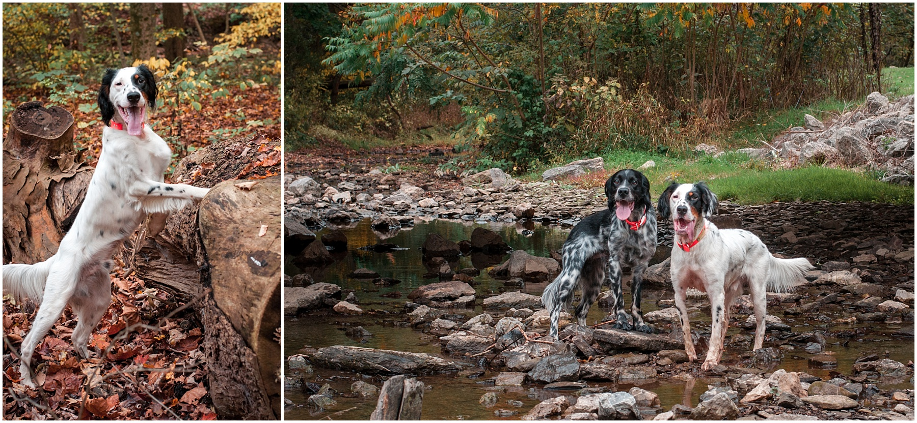 English setters at Brady's Run Park in Beaver County