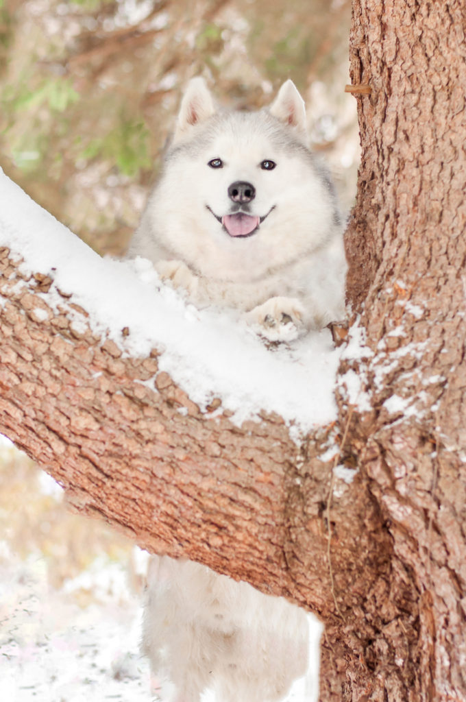 Siberian husky poses on a sow-covered tree in Olson Park