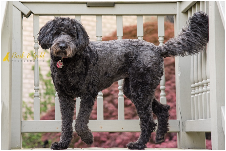 black goldendoodle prancing on the deck stairs during a backyard session in Pittsburgh's North Hills