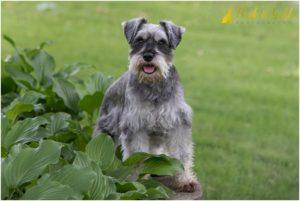 Frankie the Miniature Schnauzer - Monaca Dog Photography