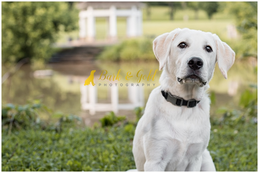 yellow Labrador puppy sitting by a pond in South Park