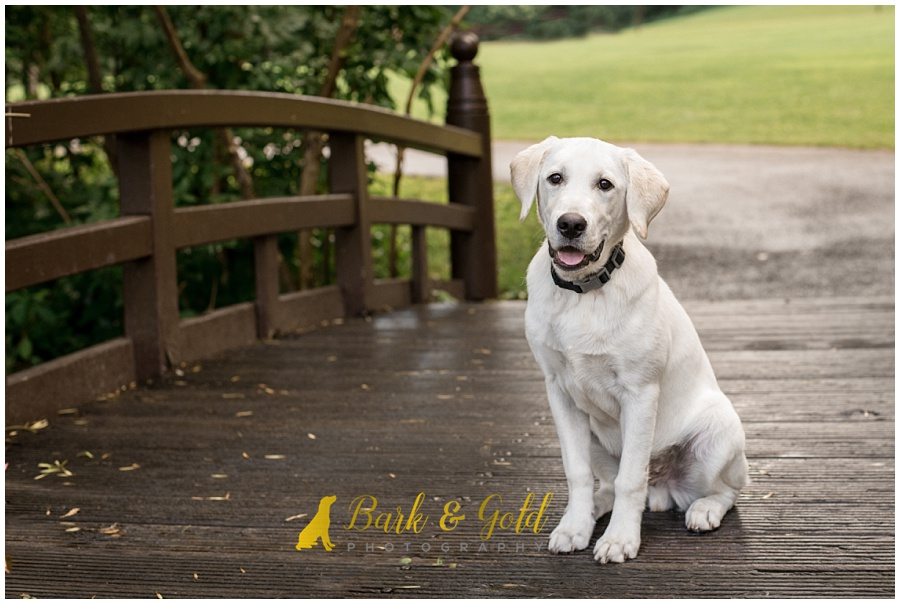 yellow Labrador puppy sitting on a footbridge near the Maple Springs Gazebo pond in South Park