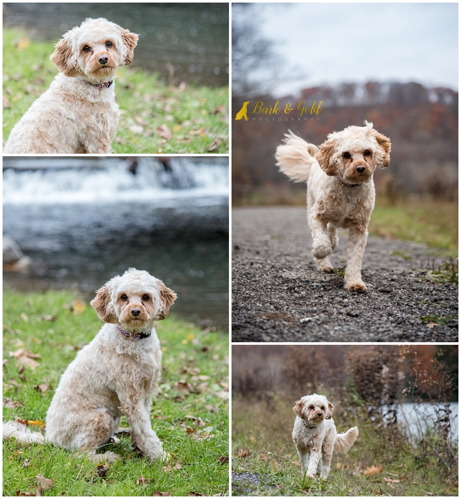 Cavapoo puppy posing along a lake at Brady's Run Park in Beaver County