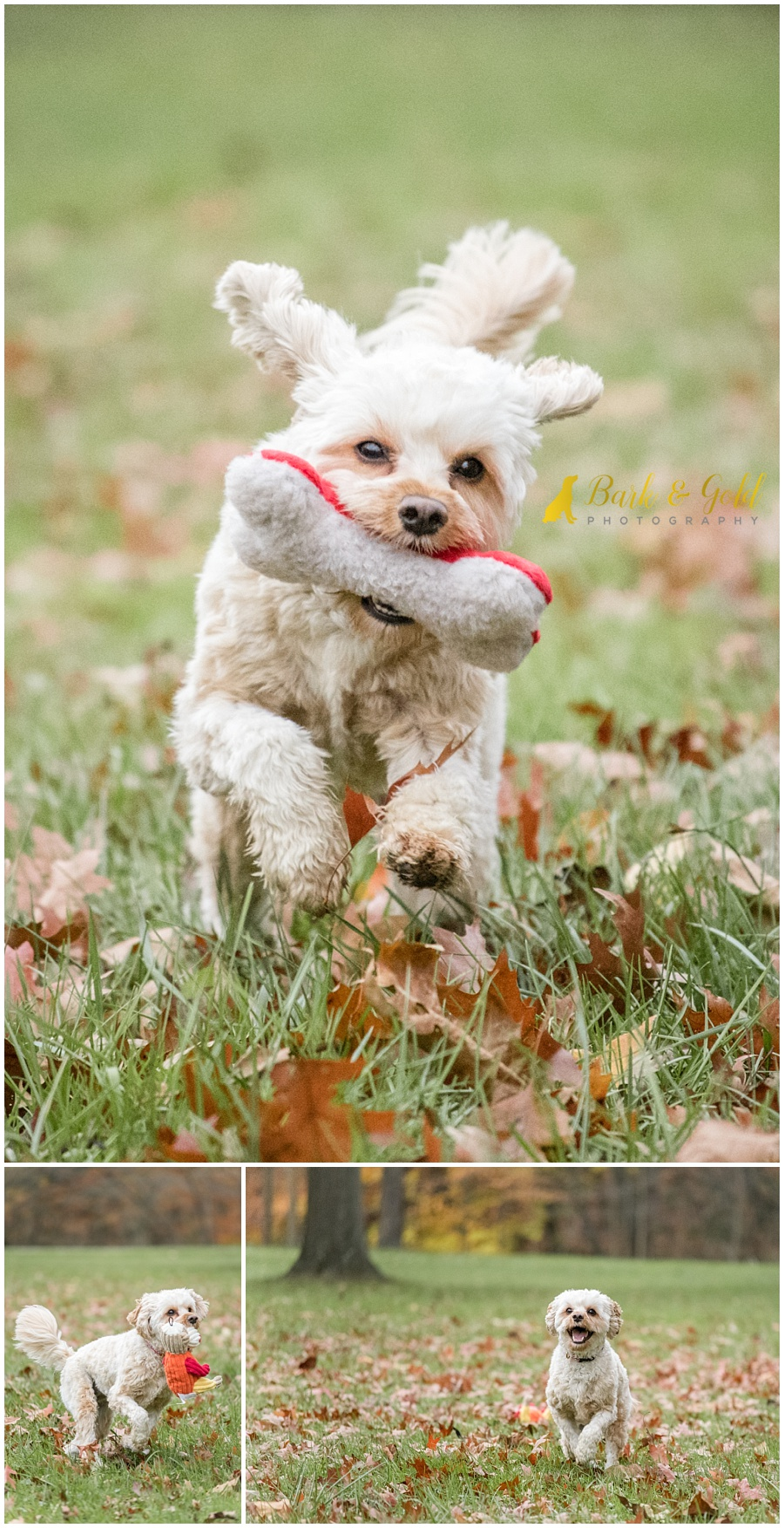 playful Cavapoo puppy running with toys at Brady's Run Park in Beaver County