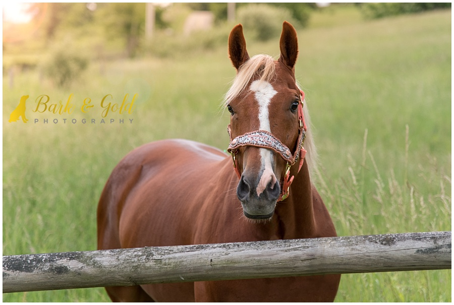 American Quarter Horse by a sunlit fence in a field