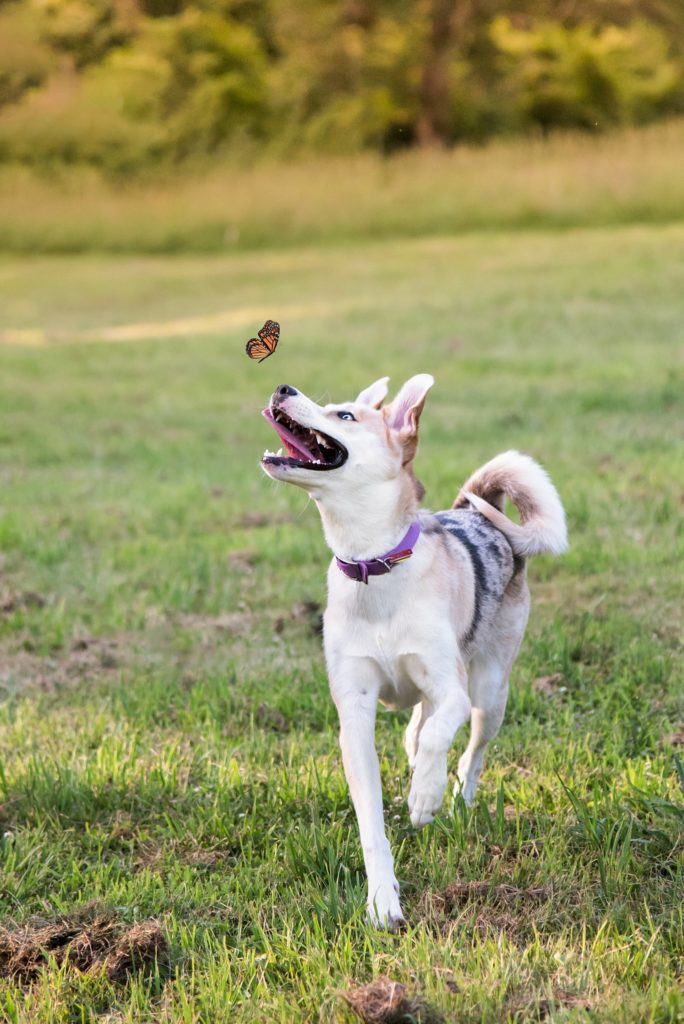 husky mix puppy chasing a butterfly through a field at South Park