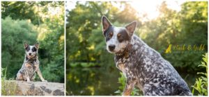 Gus the Blue Heeler - Pittsburgh Dog Photography
