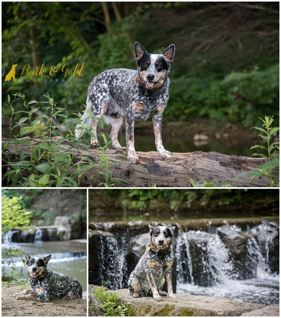Blue Heeler dog explores the creeks through Brady's Run Park in Beaver Falls