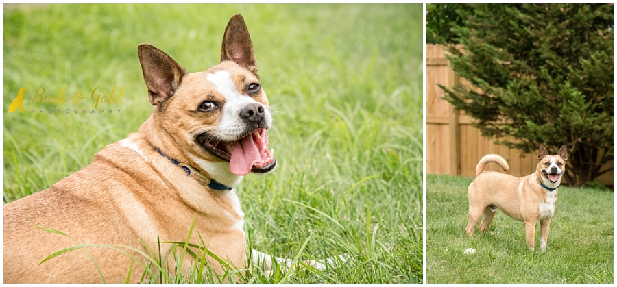 Boston terrier mix relaxing in a backyard during his pet photography session
