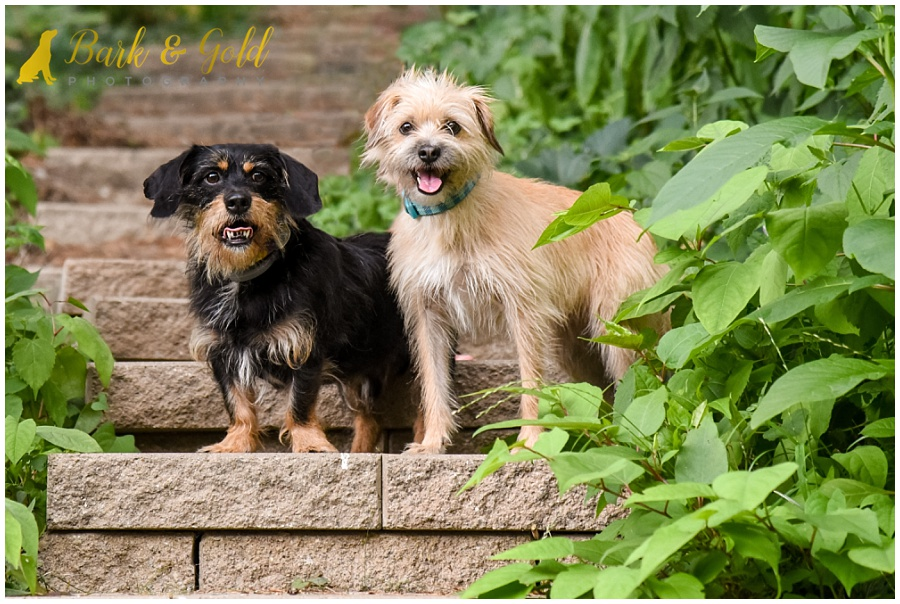 small dogs on vine-covered stairs during a backyard session in Ross Township