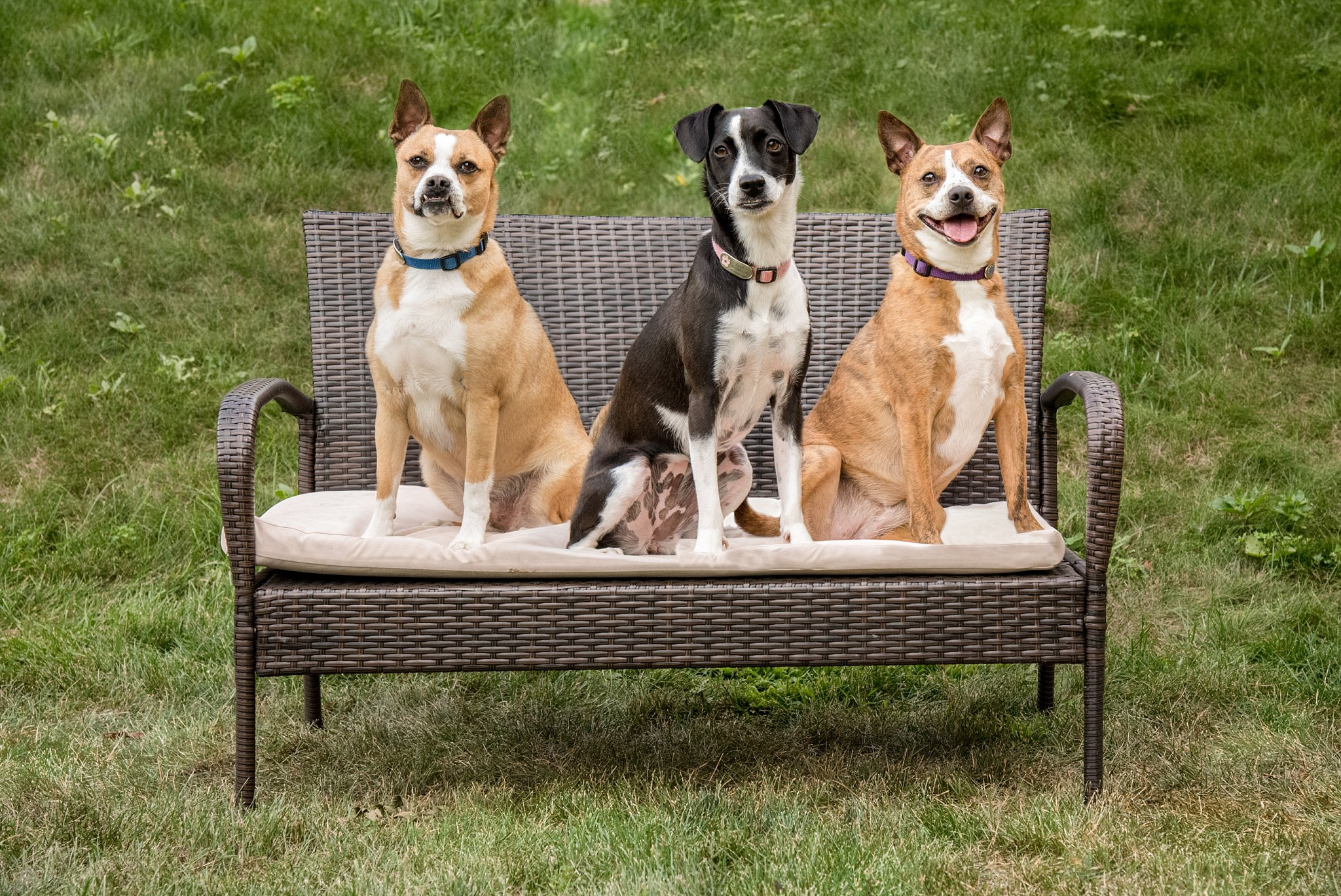 three mixed breed dogs sitting on a bench during a backyard session in Pittsburgh