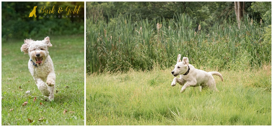 Goldendoodle and yellow Labrador puppy running through fields