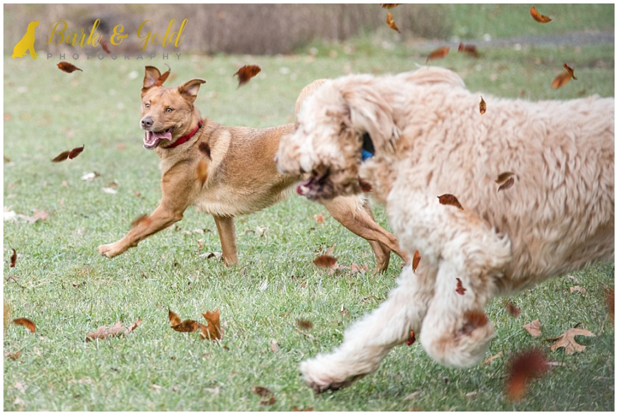 rescue mutts running through fall leaves at North Park near Pittsburgh