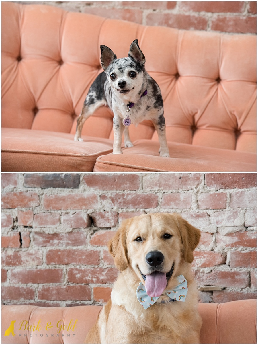 golden retriever and chihuahua at Studio 415 in Pittsburgh
