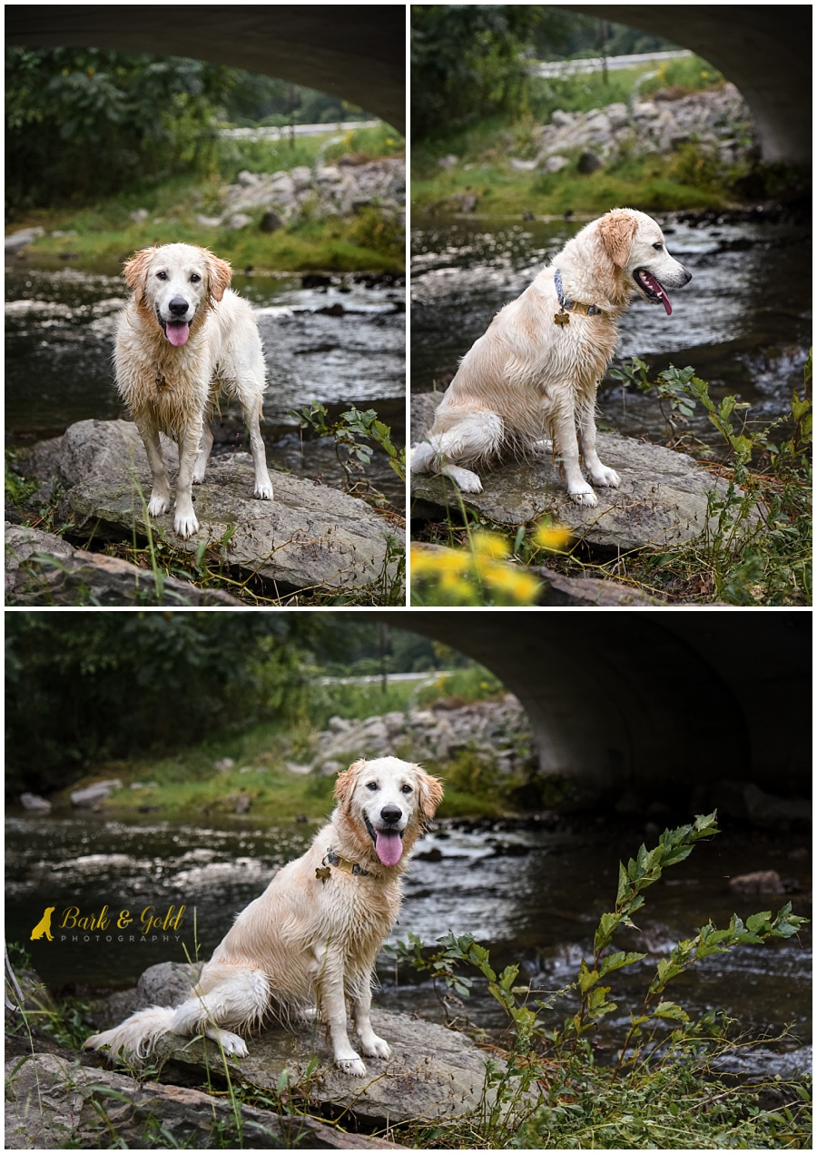 golden retriever puppy sitting by a creek at Brady's Run Park in Beaver County
