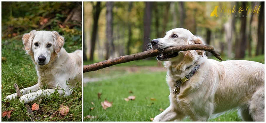 golden retriever puppy fetching a big stick at Brady's Run Park in Beaver County