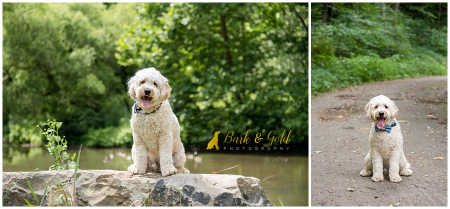 goldendoodle puppy exploring at Brady's Run Park near Pittsburgh