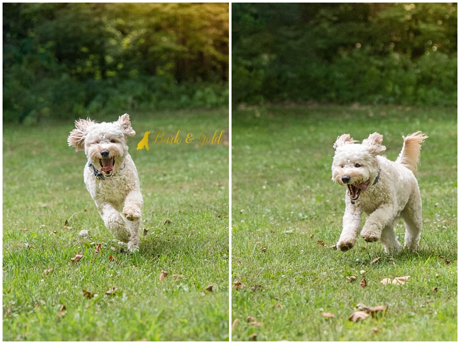 goldendoodle puppy smiling and running through at field at Brady's Run Park near Pittsburgh