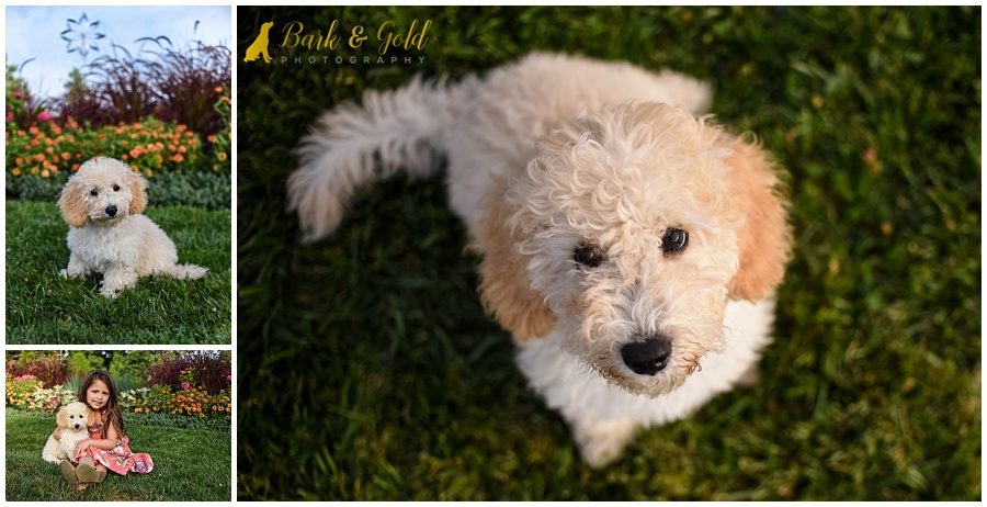 adorable goldendoodle puppy and child at Phipps Conservatory in Pittsburgh