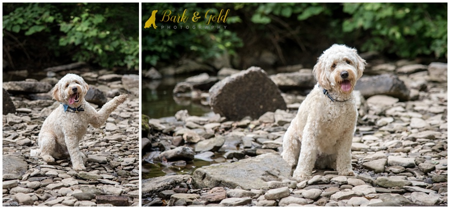 goldendoodle puppy sitting in a rocky creek at Brady's Run Park near Pittsburgh