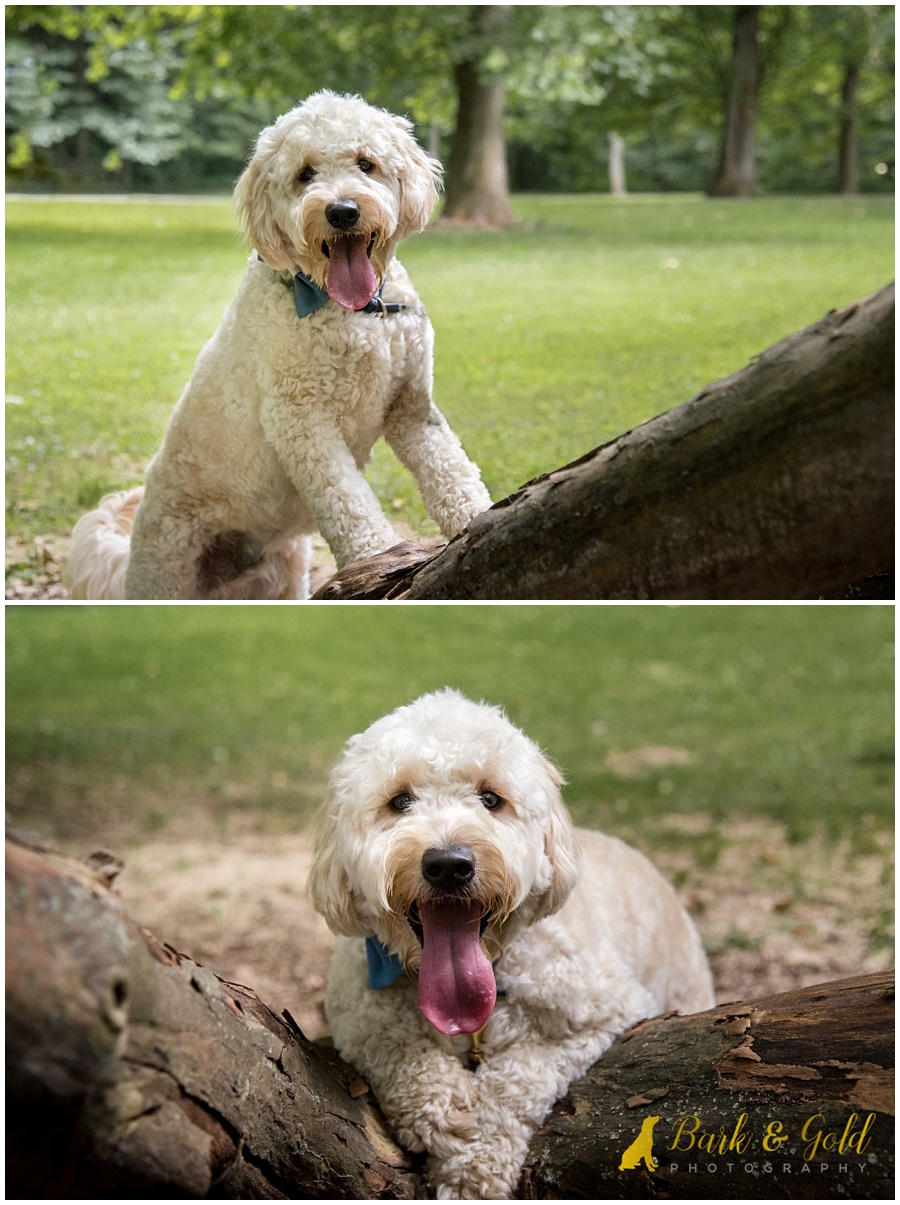 goldendoodle puppy posing on a fallen tree at Brady's Run Park near Pittsburgh