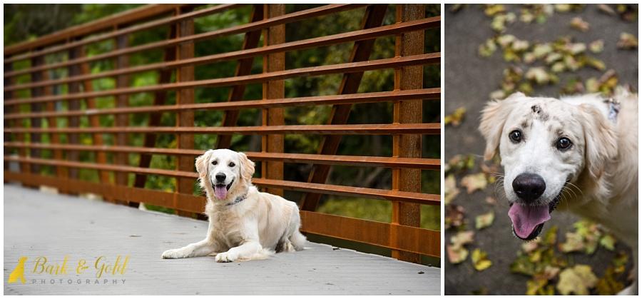 dirty golden retriever puppy at Brady's Run Park in Beaver County