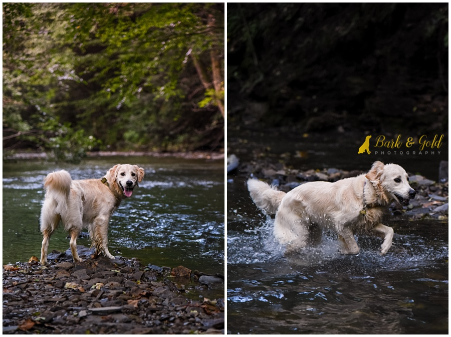golden retriever puppy swimming in a creek at Brady's Run Park in Beaver County