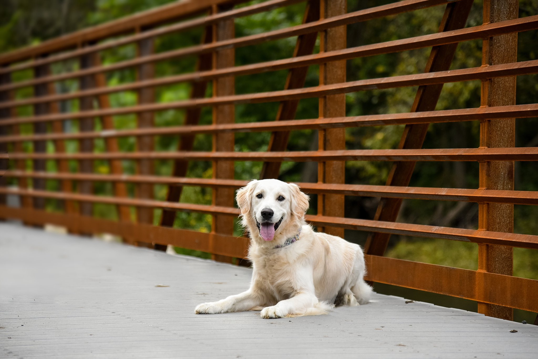 white golden retriever puppy resting on a bridge at Brady's Run Park in Beaver County