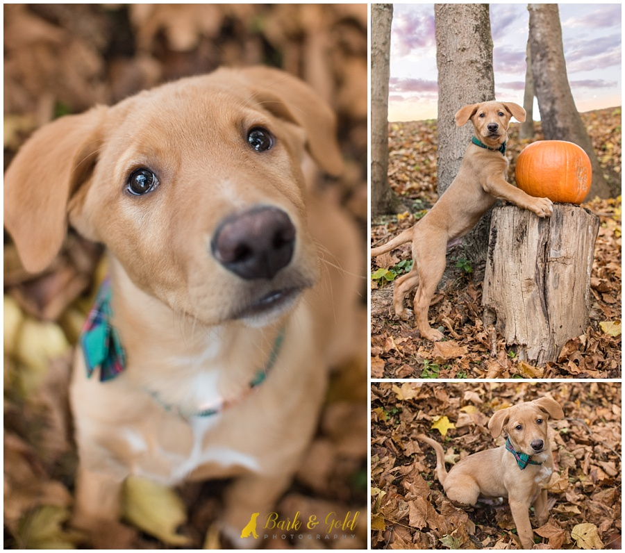 puppy playing in brown leaves at Mingo Creek Park near Pittsburgh