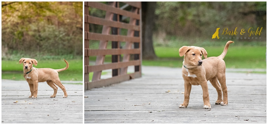 adorable little brown puppy on a footbridge at Mingo Creek Park near Pittsburgh