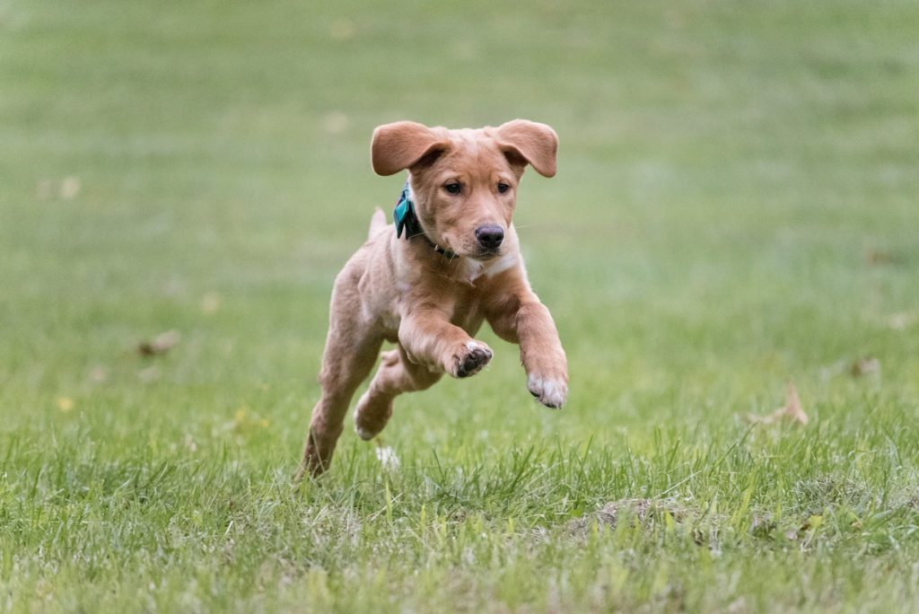 Lab/Shepherd mix puppy running through a field at Mingo Creek Park