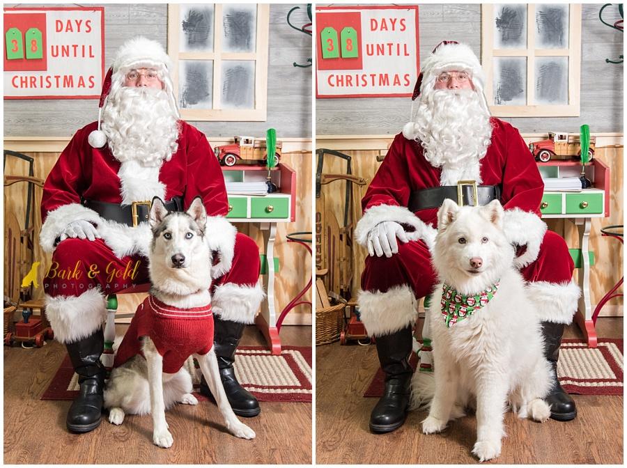 Siberian husky and Samoyed dogs visiting Santa at Petagogy Greensburg's pet photos with Santa event