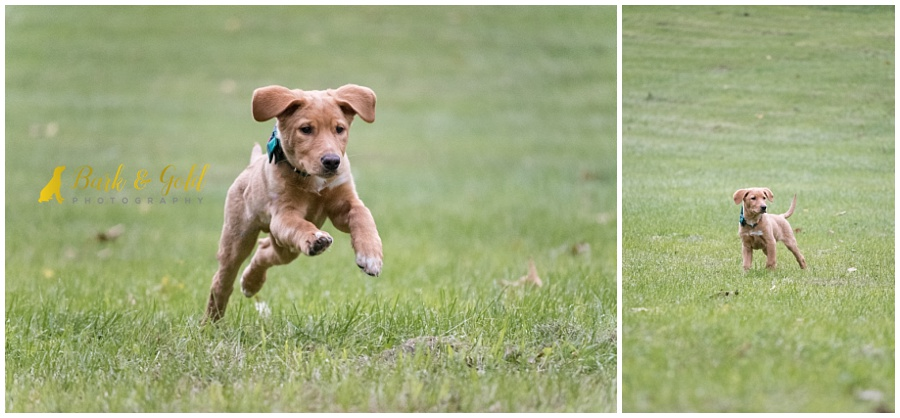 young brown puppy running through a field at Mingo Creek Park near Pittsburgh