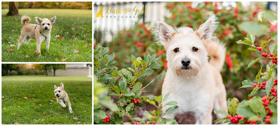 Cairn terrier mix plays in the fields on Pittsburgh's North Shore