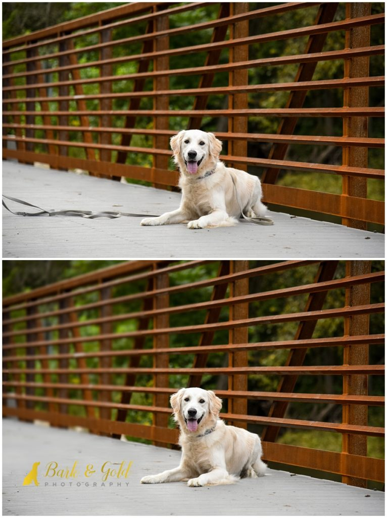 white golden retriever on a bridge at Brady's Run Park before and after a leash removal