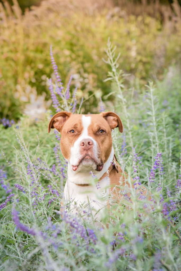 handsome pit bull in lavender flowers at Phipps Conservatory near Pittsburgh