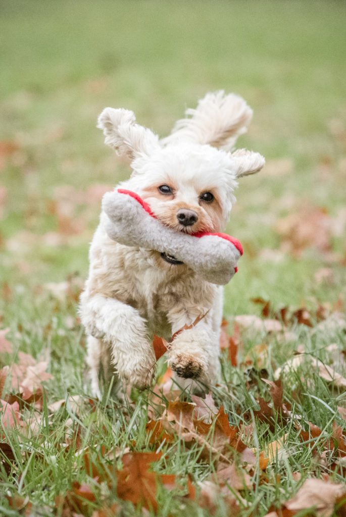playfull Cavapoo puppy running with toy at Brady's Run Park