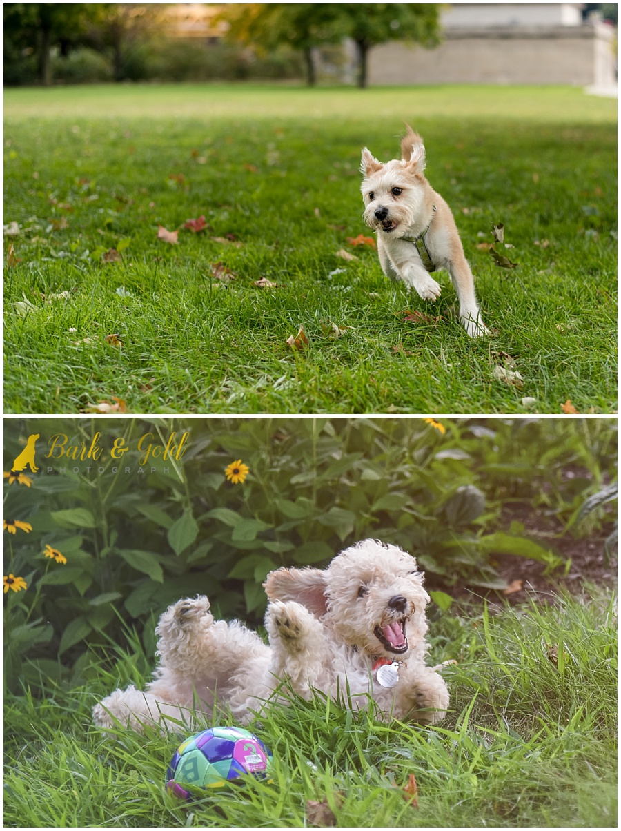 playful puppy and terrier running though grass during a Pittsburgh pet photography session